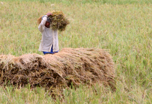 A rice farmer harvests his crop. Photo: GIZ