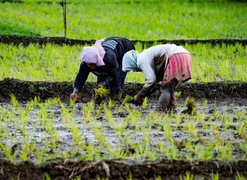 Transplanting young rice plants. Photo: GIZ