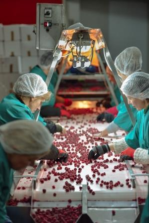 Workers sorting raspberries on a production line. Photo: GIZ/Dirk Ostermeier