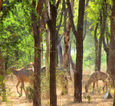 India. Intact wildlife in a forest in Gujarat