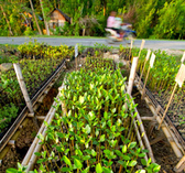 Philippines. A nursery of seedlings ready to be used for planting. © GIZ