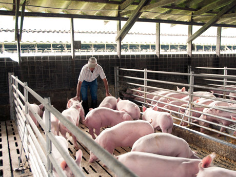 Héctor Alvarado Cantillo likes pigs: 'They've got their five senses too – we treat them well. Furthermore, they are an important source of food for us.'