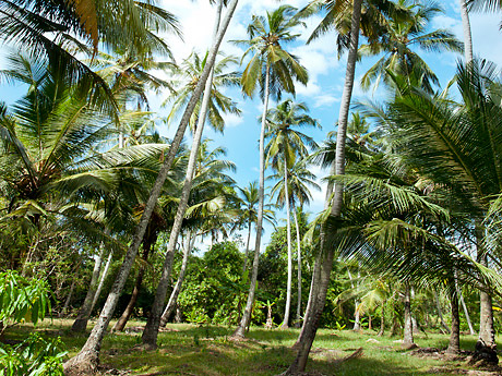 …and a coconut estate with full-grown coconut palms. The virgin coconut products are exported, for example to the United States.