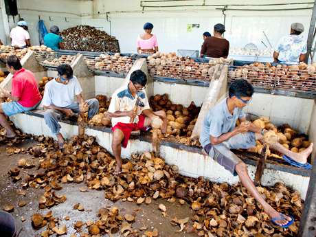 Employees use hatchets to prepare the coconuts for processing.