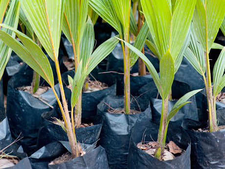 Early stages of coconut plants in a nursery…