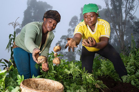 Cameroon. Working on the potato harvest. © GIZ