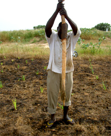 Chad. Replanting after the floods: drought-resistant red and white sorghum (berbere) (Photo: Dr Anja Stache, AHT) © GIZ