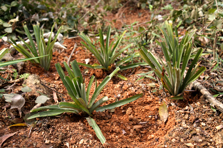 Cultivating pineapple plants on steep slopes to prevent erosion Photo: GIZ