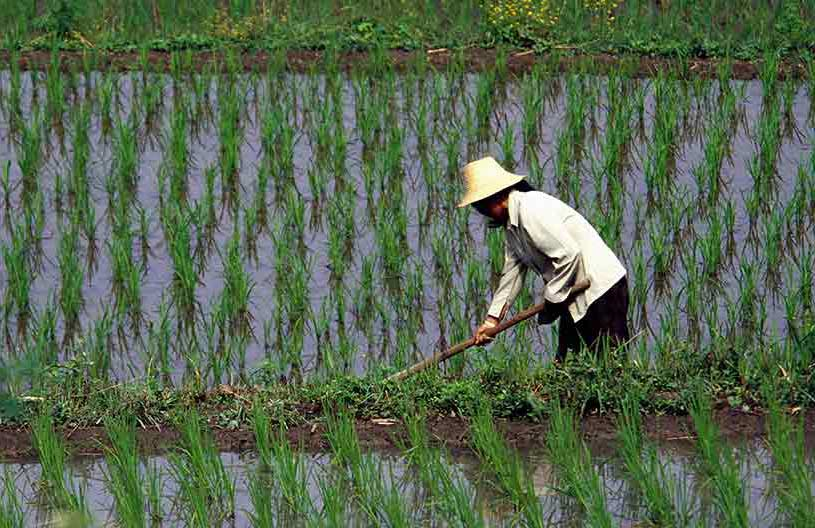 Female asian farmer working in a wet rice field